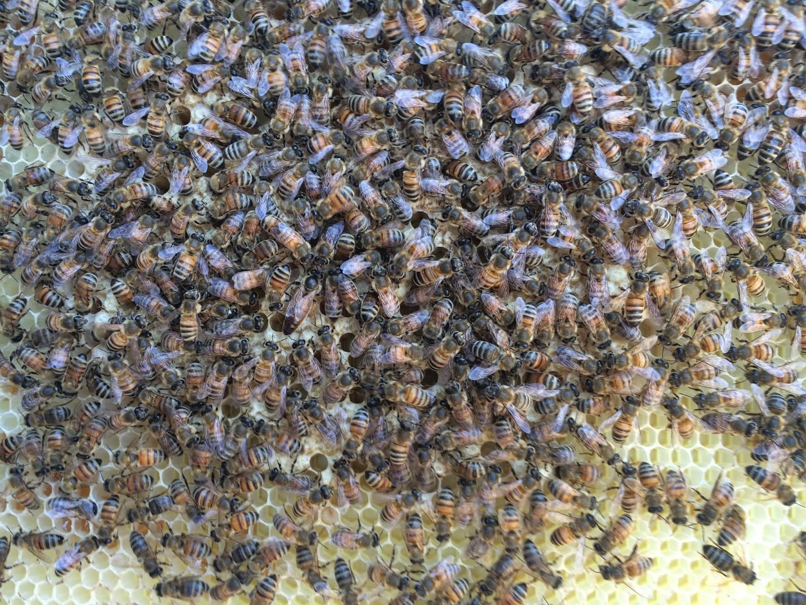 reine, queen, abeilles