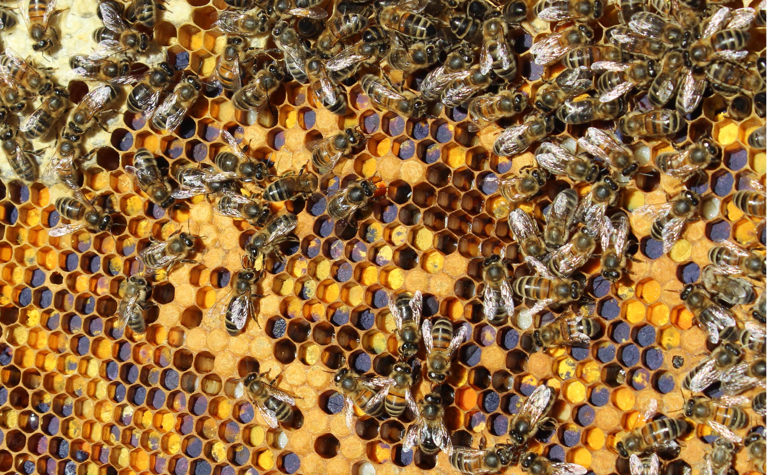 cadre des abeilles